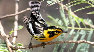 Blackburnian-Warbler1