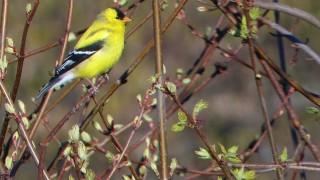 Goldfinchforweb