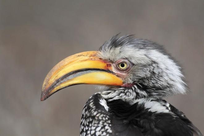 Hornbill5