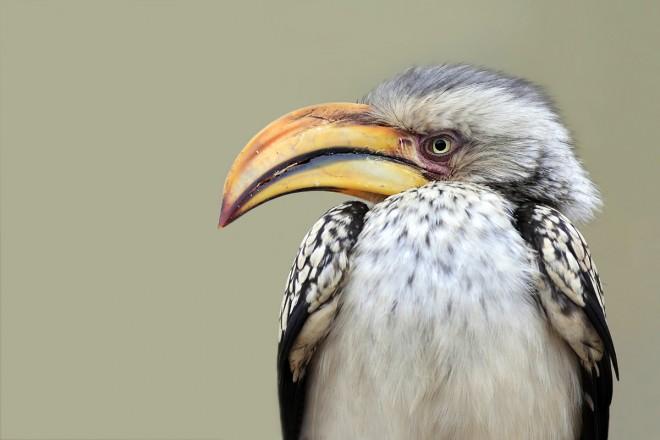Hornbill6