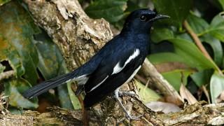 Magpie-Robin-Bird