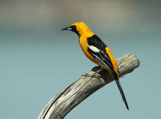 Oriole-Hooded-2013-04-03-023