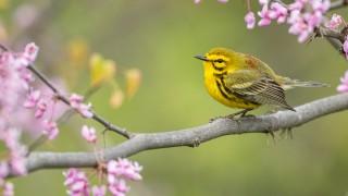 Prairie-Warbler0237