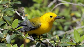 Prothonatary-Warbler