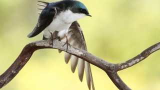 Swallow-Tree-2013-04-02-042