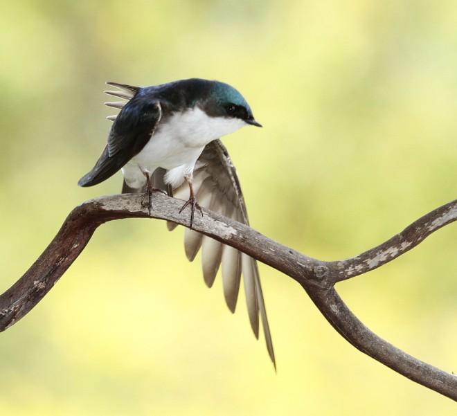 Swallow-Tree-2013-04-02-042