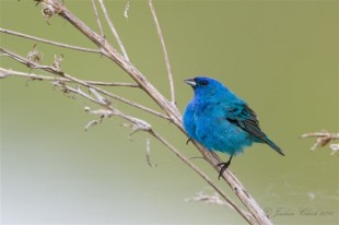 Indigo Bunting  Photo by Joshua Clark