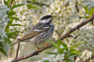 Blackpoll Warbler. Photo by Hans Spiecker