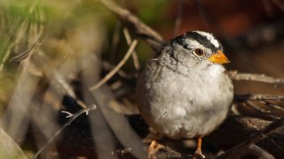 White-crowned-sparrow-crop.
