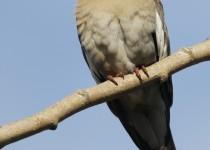 White-winged-DoveJI8