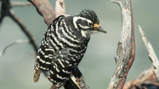 Woodpecker-Nuttall-2013-04-08-078