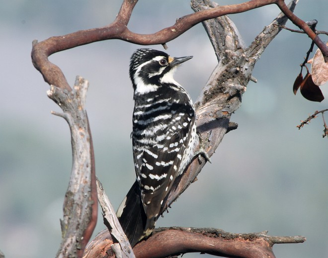 Woodpecker-Nuttall2339bs2013-03-26155