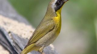 Yellowthroat-Common-10-0953