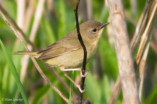Yellowthroat-Common-2013-6794