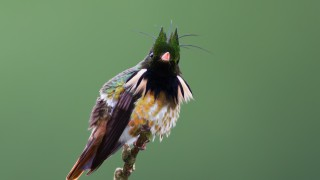 black-crested-coquette-8070