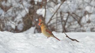 bobvt_20130320_cardinal14b