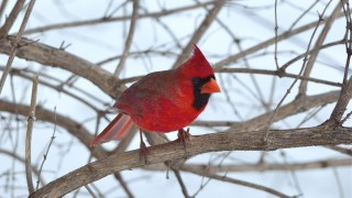 bobvt_20130323_cardinal104b
