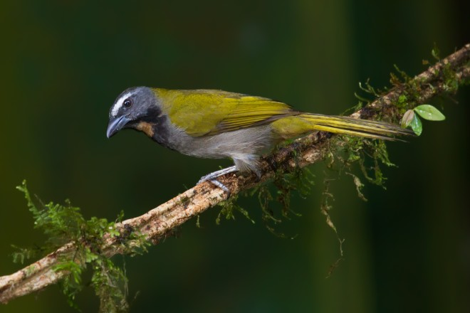 buff-throated-saltator