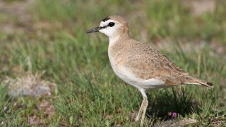 Mountain Plover is one of several shorebird species with declining populations. Photo by Mia McPherson