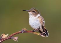 scintillant-hummingbird-8577