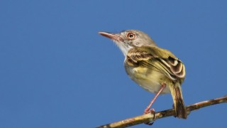 strip-necked-tody-tyrant