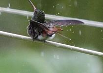 00014_Bird_Hummer_Rufus-Tailed