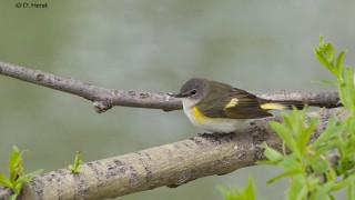 American-Redstart