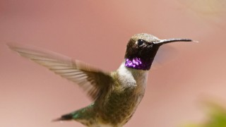 Birdwatching-75.-Black-chinned