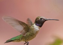 Birdwatching-76.-Black-chinned