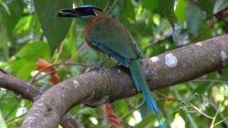 Blue-crowned-Motmot-01