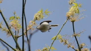Blue-gray-Gnatcatcher-5