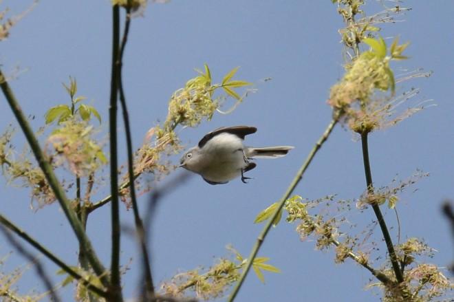 Blue-gray-Gnatcatcher-5