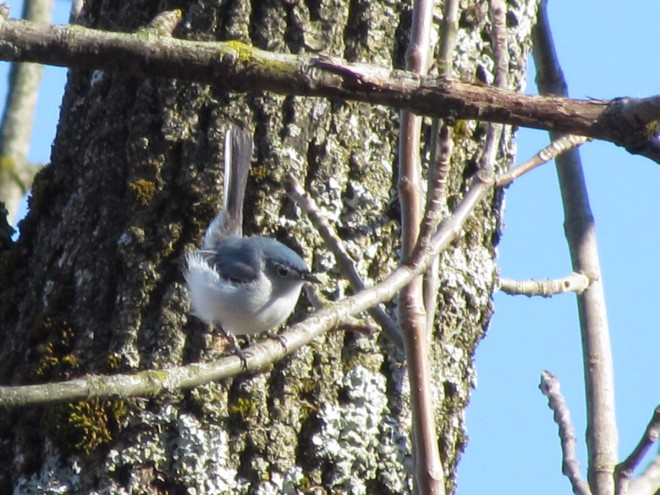 Bluegrey-Butternut-Gnatcatcher
