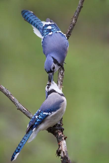 Bluejay-pair