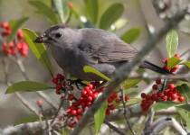 Catbird-with-a-deformed-beak