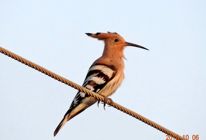 Common-Hoopoe1