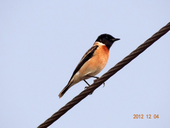 Common-Stonechat
