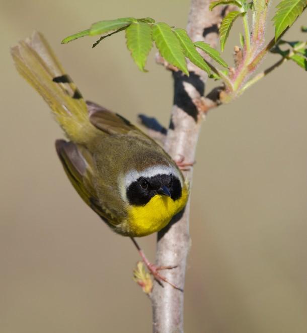 Common-Yellowthroat