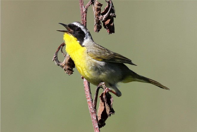 Common-Yellowthroat1