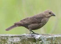Cowbird-Brown-headed-13-7420