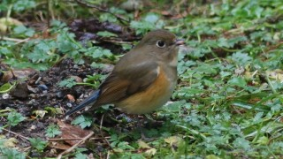 DSC_3474-Red-flanked-Bluetail-HR