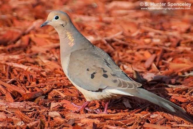 DSC_6167-Mourning-Dove