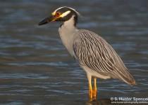 DSC_6230-Yellow-crowned-Night-Heron