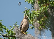 DSC_7119-Blue-gray-attacks-Hawk