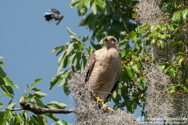 DSC_7129-Blue-gray-and-Hawk