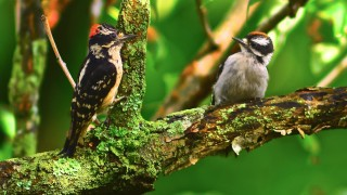 A male Downy Woodpecker perches next to a red-crowned juvenile. Photo by ntezbnggreen