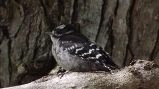 Downy-fledgling_birds_eagles_UCSFWA-002