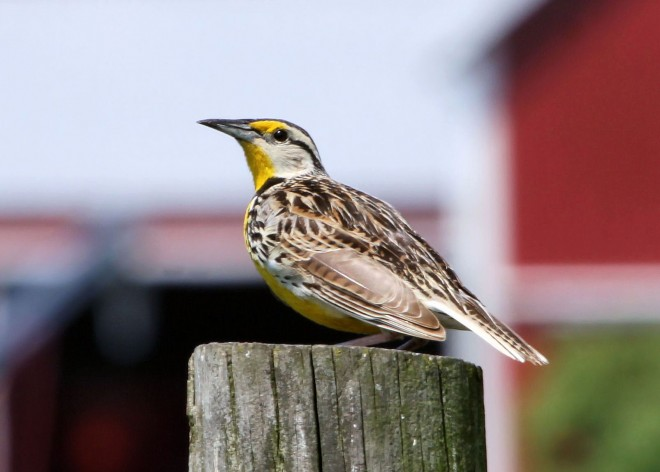 Eastern-Meadowlark