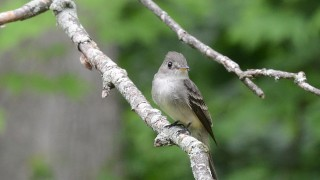 Eastern-Wood-Peewee