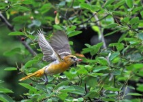 Female-Oriole-Flying-with-Berry-61-GL